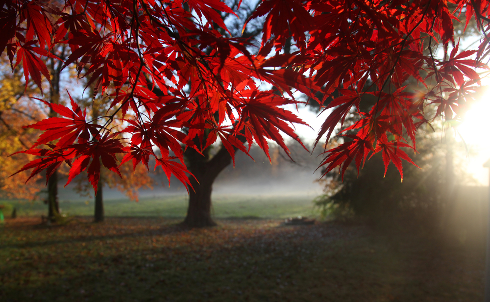 Japanese Maple, 2010 I took this shot early on a beautiful October morning.  I had just taken the dogs out and saw that the sun was just about to come up over the hay field behind our house.  The sun beautifully illuminated the Japanese Maple in our backyard.