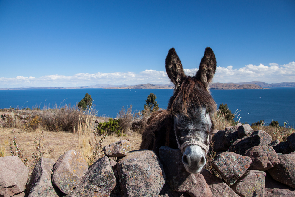 Friendly Llachonian donkey.