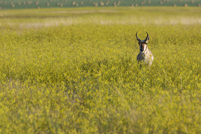 Summer Pronghorn (Antilocapra americana) - Badlands NP, South Dakota