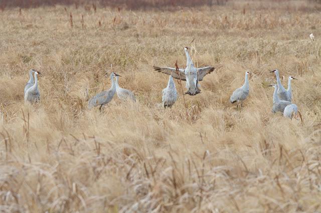 Sandhill-Cranes_MG_3508.jpg