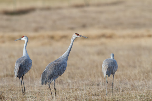 Sandhill-Cranes_MG_3586.jpg