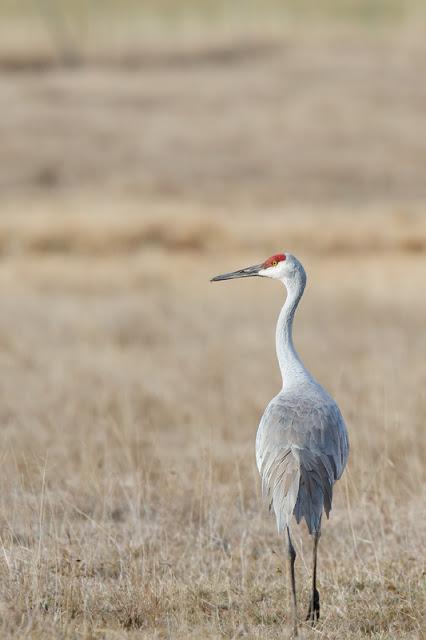 Sandhill-Cranes_MG_3581.jpg