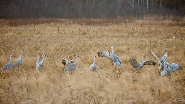 Sandhill-Cranes_MG_3520.jpg