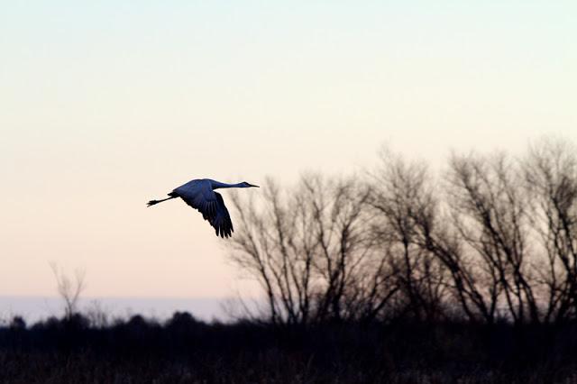 Sandhill-Cranes_MG_3170.jpg