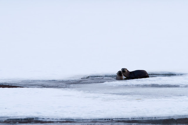River Otter Pair (Lutra canadensis) - Minnesota    Canon 7D + 300mm f2.8L IS
