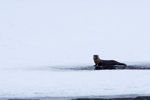 River Otter (Lutra canadensis) - Minnesota Canon 7D + 300mm f2.8L IS