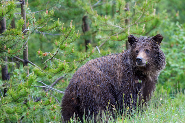Wet Grizzly Bear (Ursus arctos horribilis) - Banff National Park, Canada Canon 7D + Canon 300 f2.8L IS