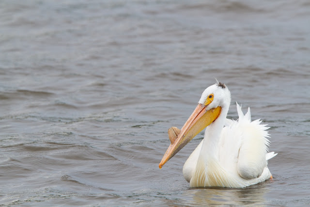 White Pelican (Pelecanus erythrorhynchos) - Minnesota River Canon 7D = Canon 300mm f2.8L IS + Canon 1.4x converter