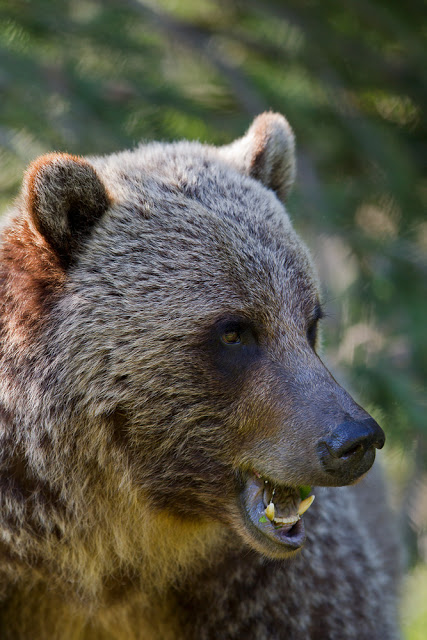 Portrait of a Bear (Ursus arctos) - Radium Hot Springs, Canada    Canon 7D = Canon 300mm f2.8L IS @ f2.8