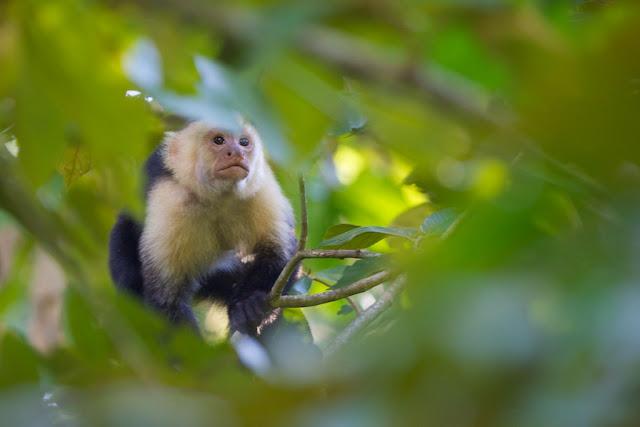 A Window into a Monkey's World (Cebus capucinus) - Hacienda Baru, Costa Rica Canon 5D Mark iii + Canon 300 f2.8L IS + Canon 1.4x Converter