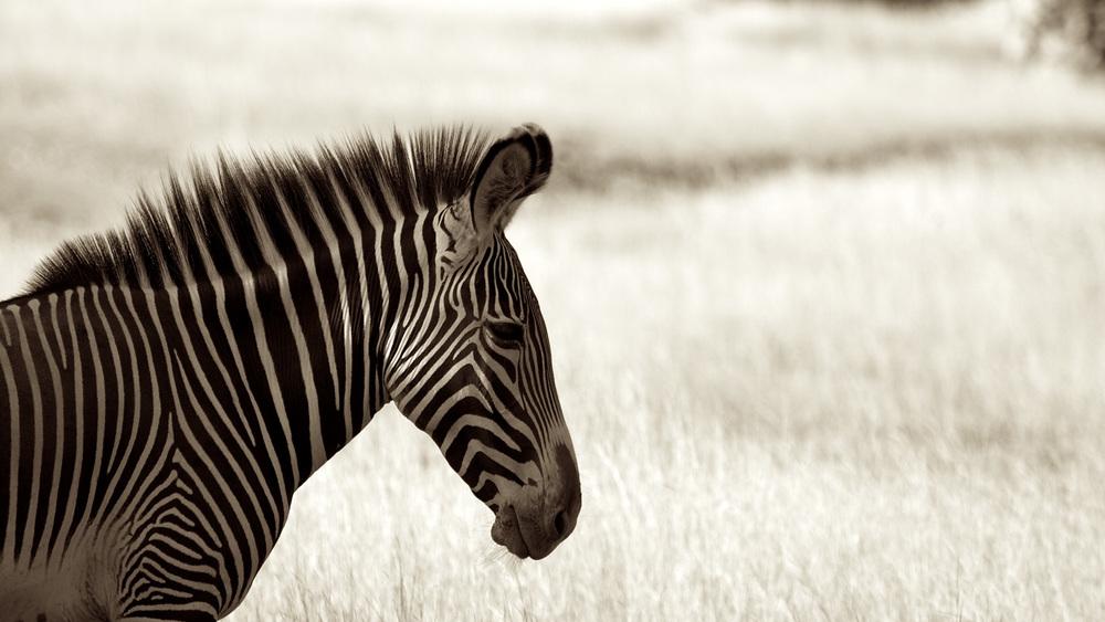 Zebra-G1-IMG_2262.jpg