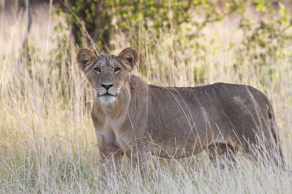 Lion_MG_2338.jpg