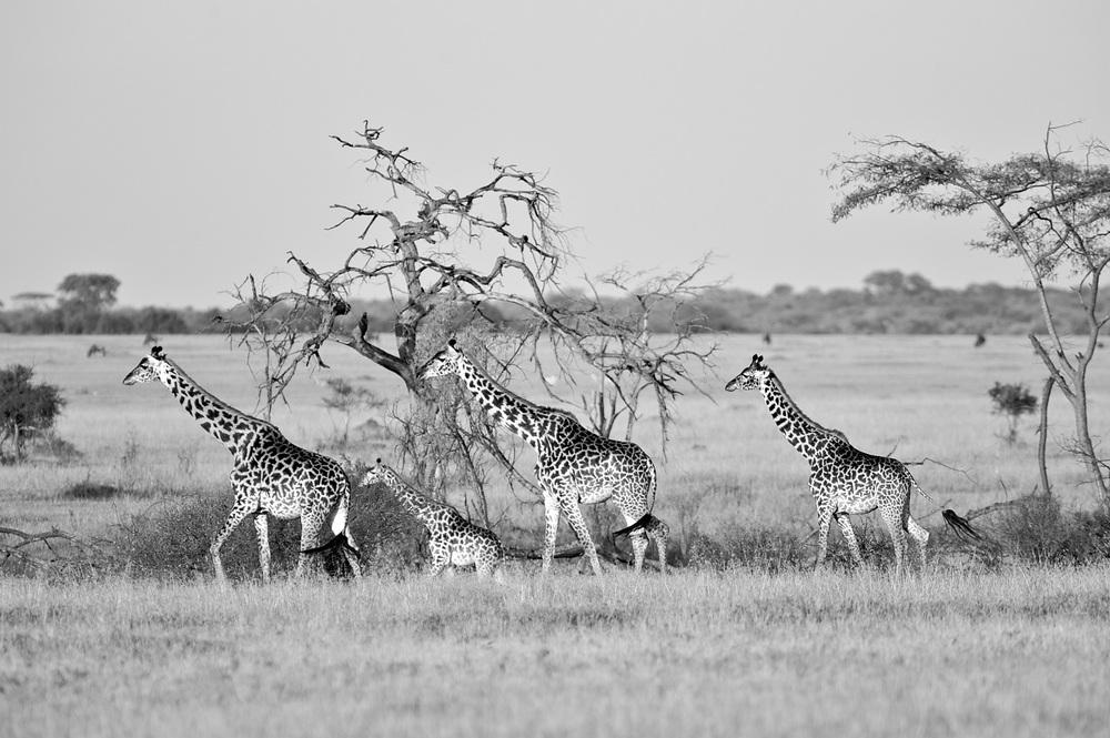 GiraffesFour0041.jpg