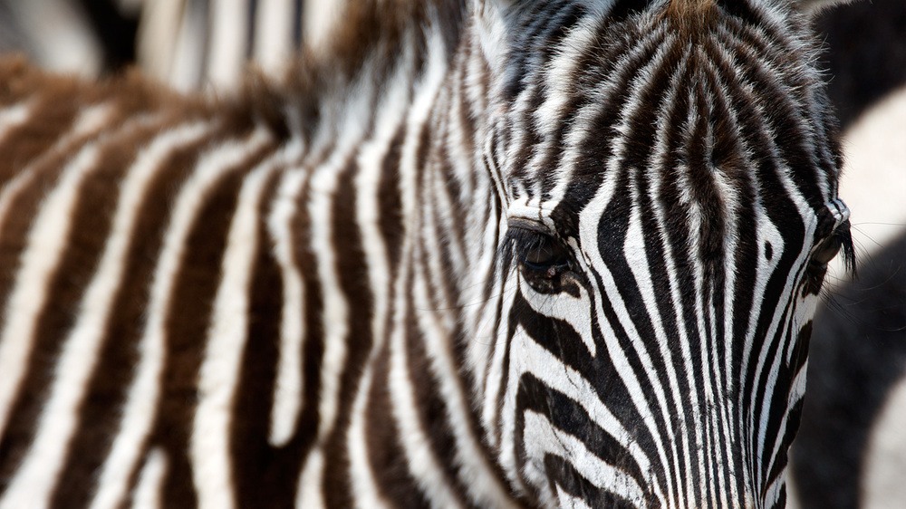 Zebra, Ngorongoro Crater