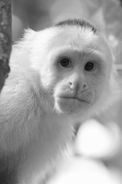 CapuchinMG_5940.jpg