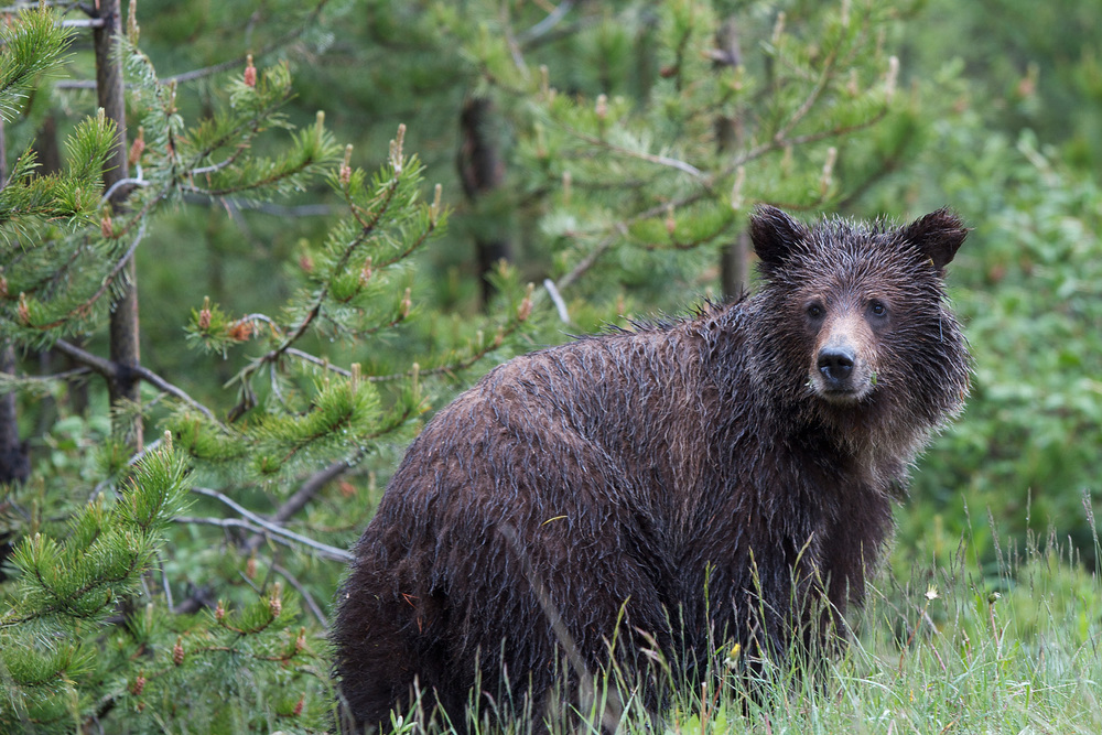 GrizzlyBear_MG_9270.jpg
