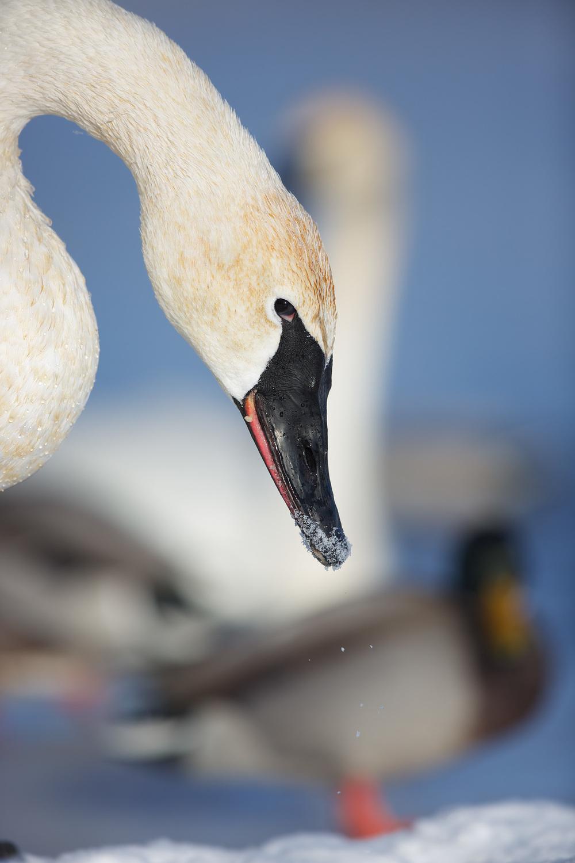 Swan93A2032.jpg