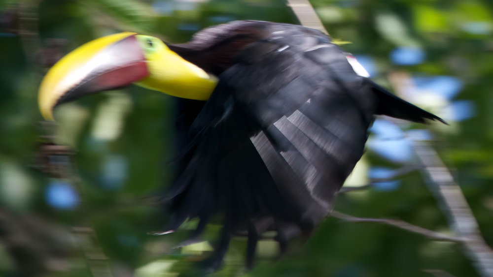 Flying Banana  (Ramphastos swainsonii)  - Hacienda Baru, Costa Rica