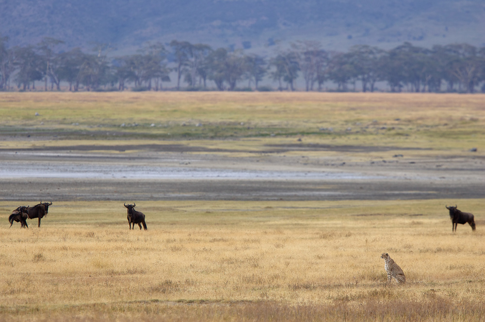 Cheetah Watching, Ngorongoro Crater