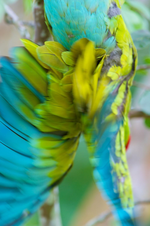 Macaw_93A4865.jpg