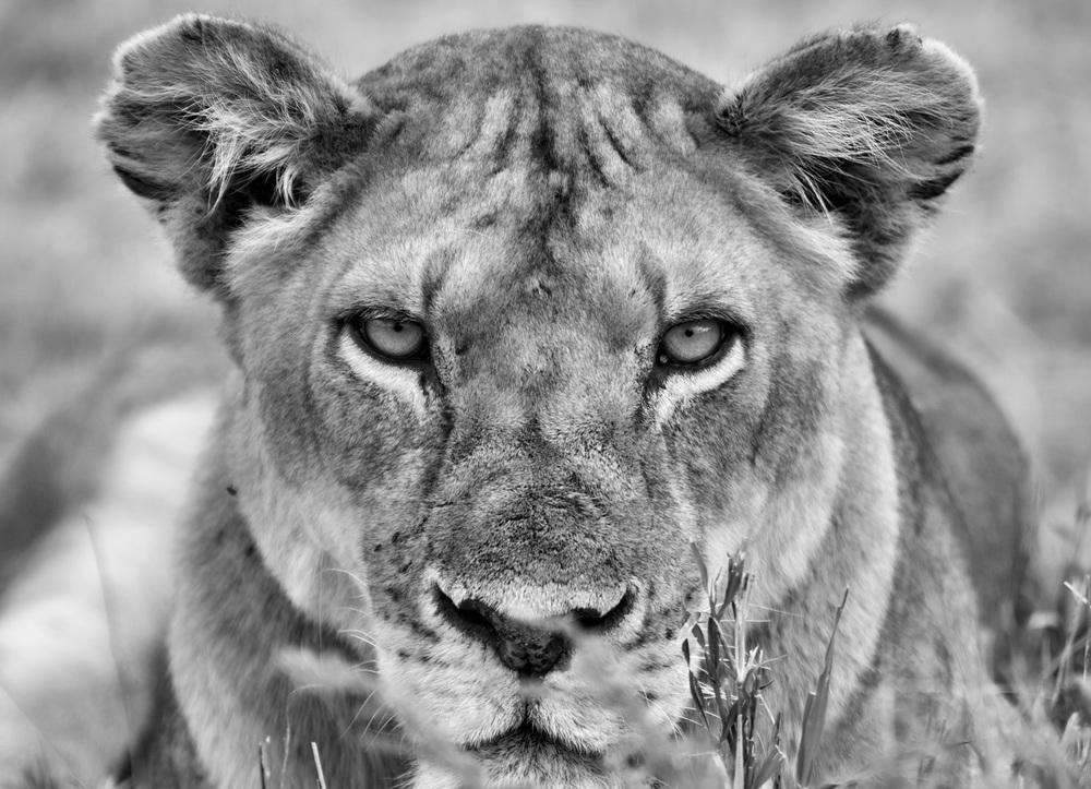 Lioness Stares (Panthera leo )- Serengeti National Reserve, Tanzania