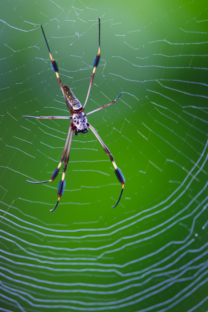 Golden Orb Weaver Spider (Genus Nephila) - Selva Verde, Costa Rica