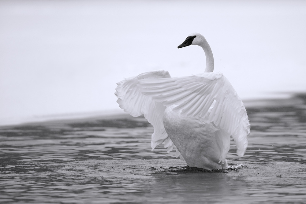 White as Snow - Trumpeter Swan (Cygnus buccinator) Canon 5D Mark III + Canon 300mm f2.8L IS