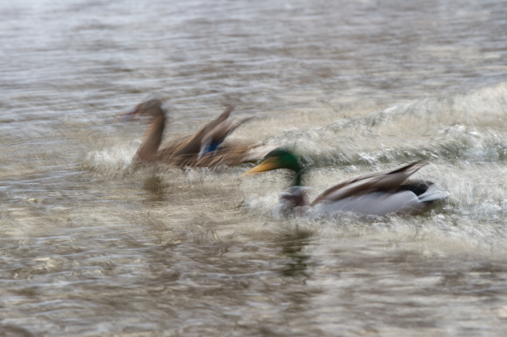 Two Mallards Landing Canon 7D + Canon 300mm f2.8L IS, ISO 100, 1/4 second, f/16