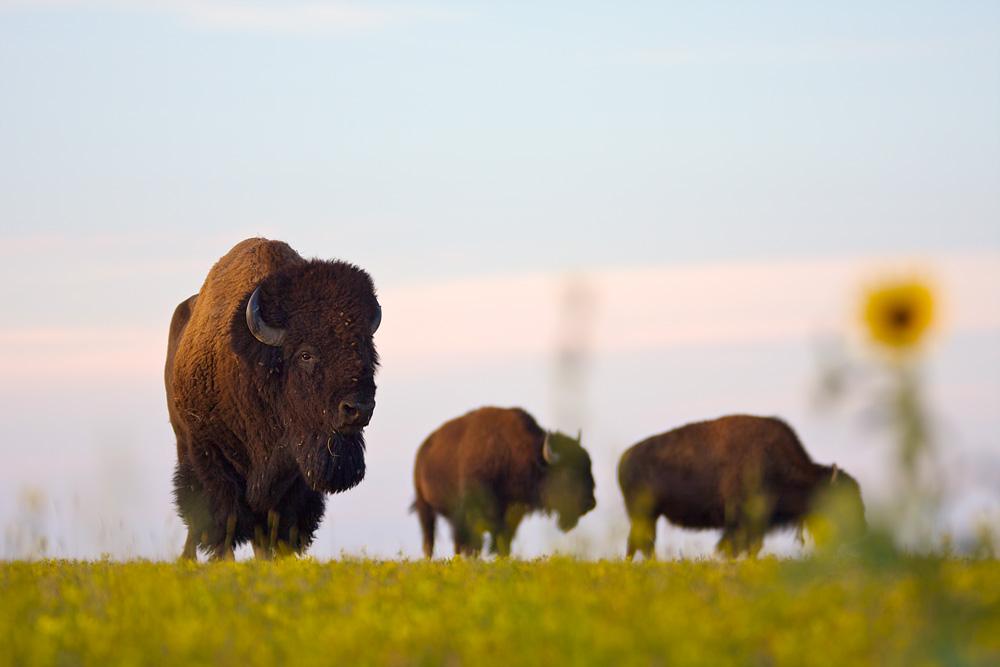 bison_IMG_1402.jpg