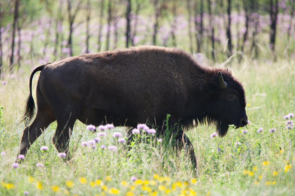 bisonIMG_8682.jpg