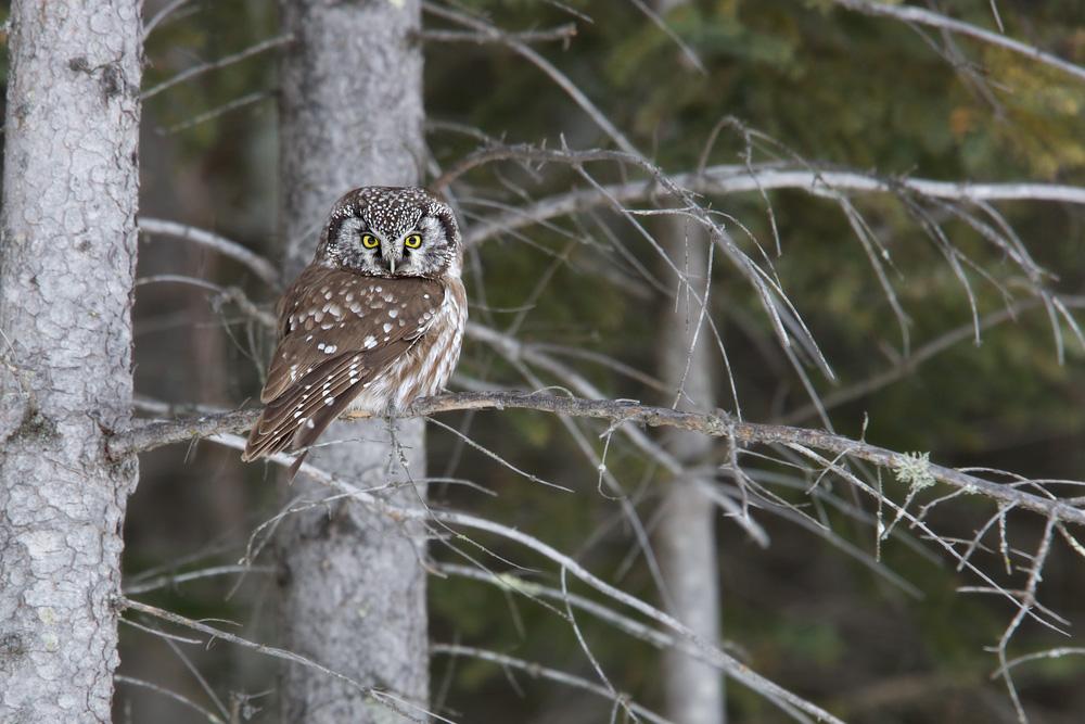 Boreal Owl (5 ℉)