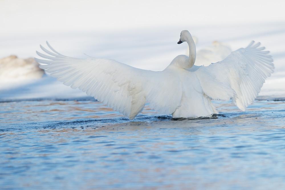 Trumpeter Swan Rousing (5 ℉)