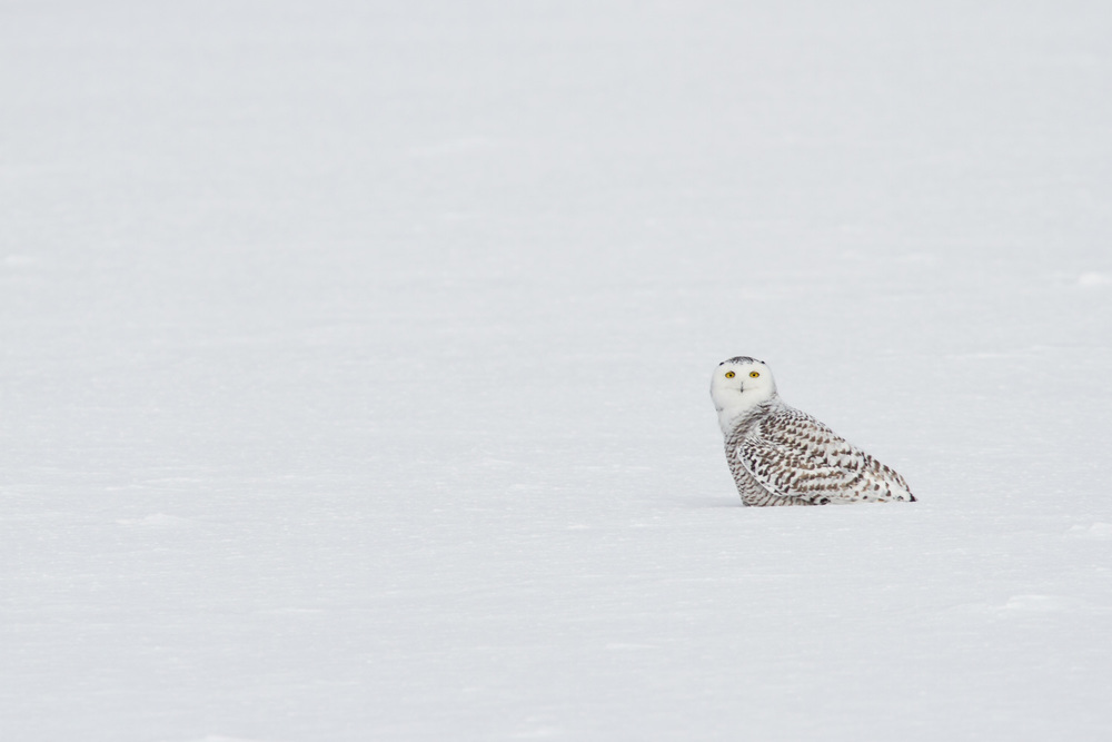 An Arctic Migrant Looking to Warm Up in MN -  Bubo scandiacus