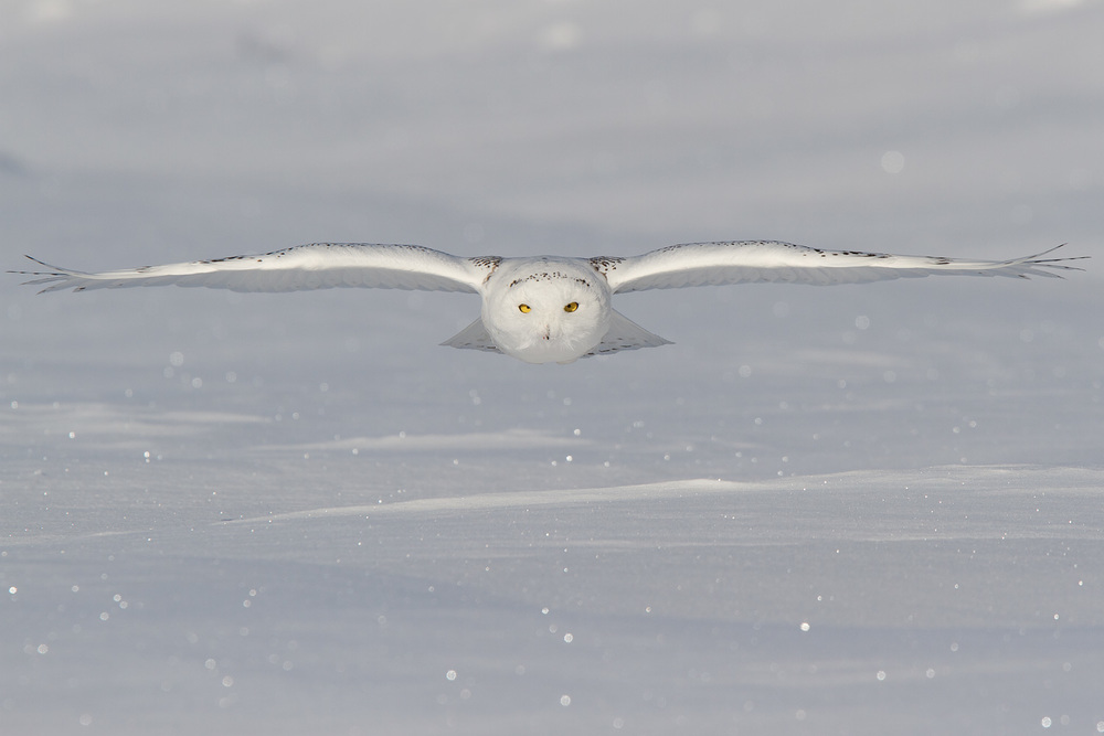 Snowy Owl, MN