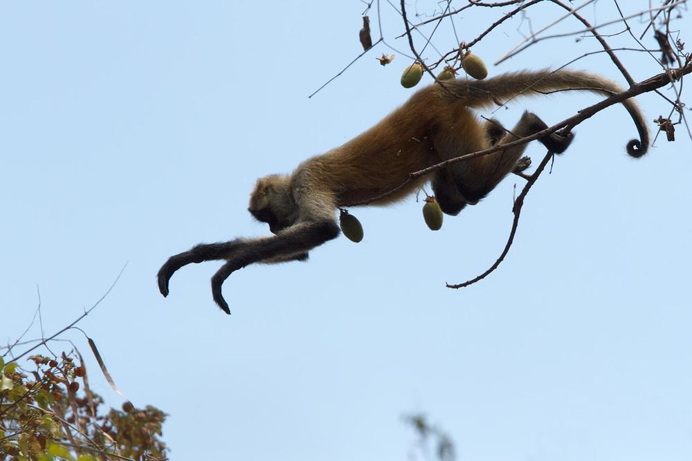 Black-handed Spider Monkey(Ateles geoffroyi)- Guanacaste National Park, Costa Rica