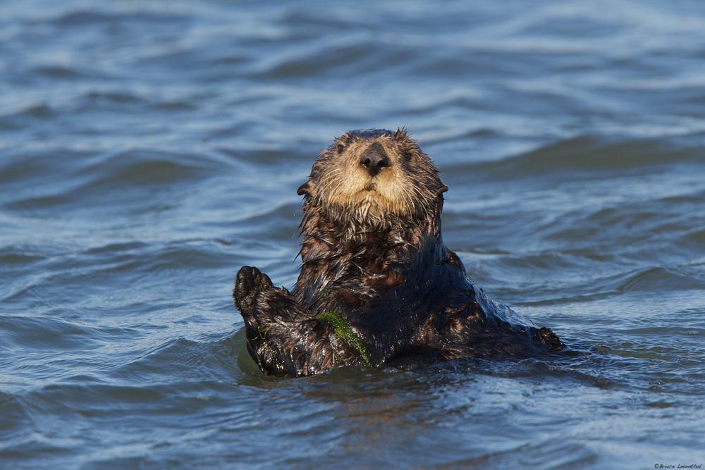 Sea Otter(Enhydra lutris)- Elkhorn Slough, CA Canon 7D, Canon 300 f2.8L IS, Canon 1.4x converter: 1/500 @ f4.5