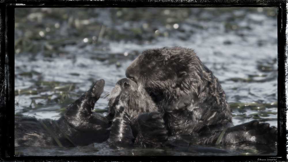 Utterly Otter Art (Enhydra lutris) - Elkhorn Slough, CA Topaz Black and White II - Diffusion w/ color