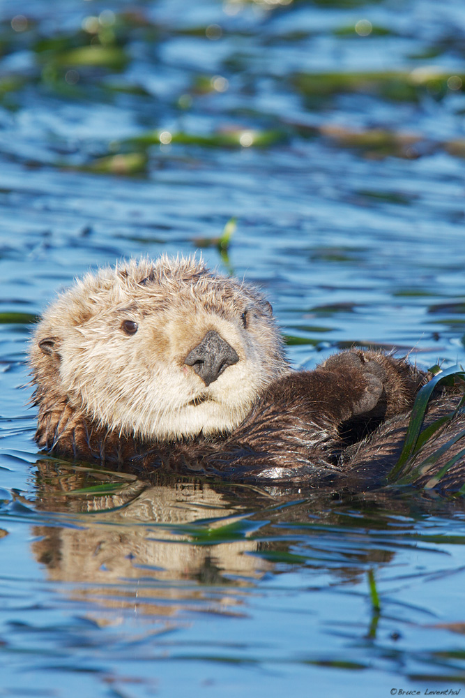 Sea Otter (Enhydra lutris) - Elkhorn Slough, CA  Canon 7D, Canon 300 f2.8L IS, Canon 1.4x converter: 1/500 @ f4.5