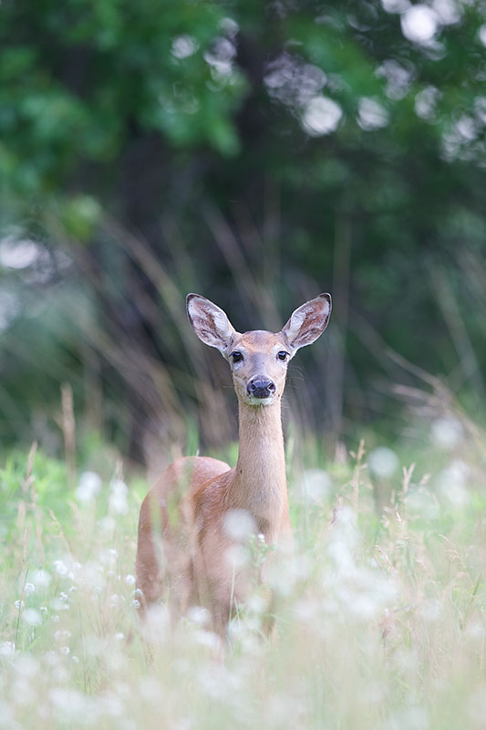 Summer Doe - Tamarac Nature Center, MN Canon 1D mark iii + Canon 300mm f2.8L IS