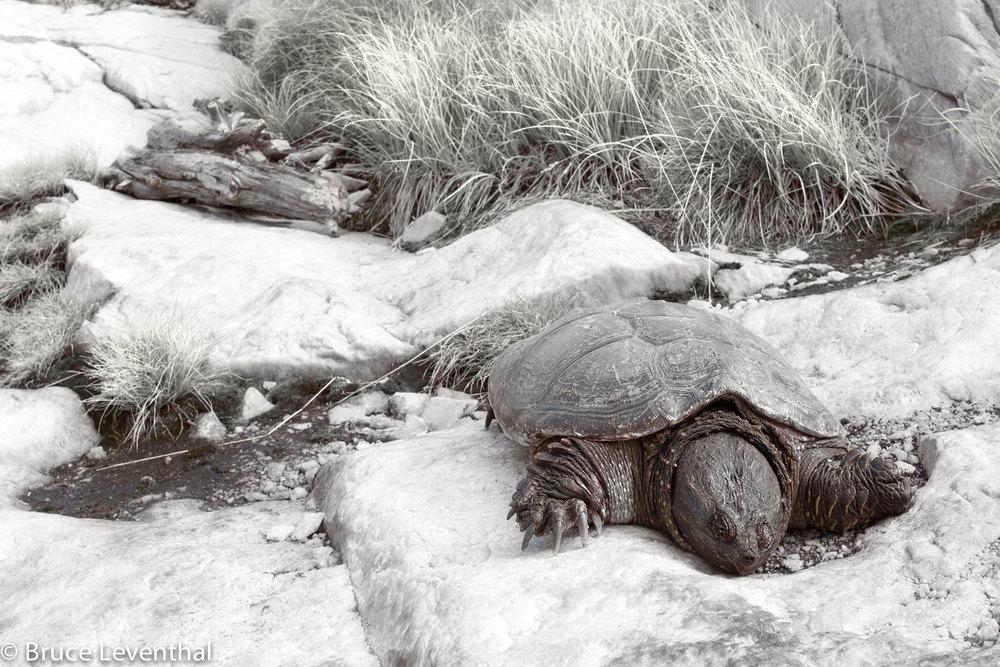 Turtle on Walk-a-bout - Killarney Provincial Park, Ontario Canon 6D + Canon 17-40L