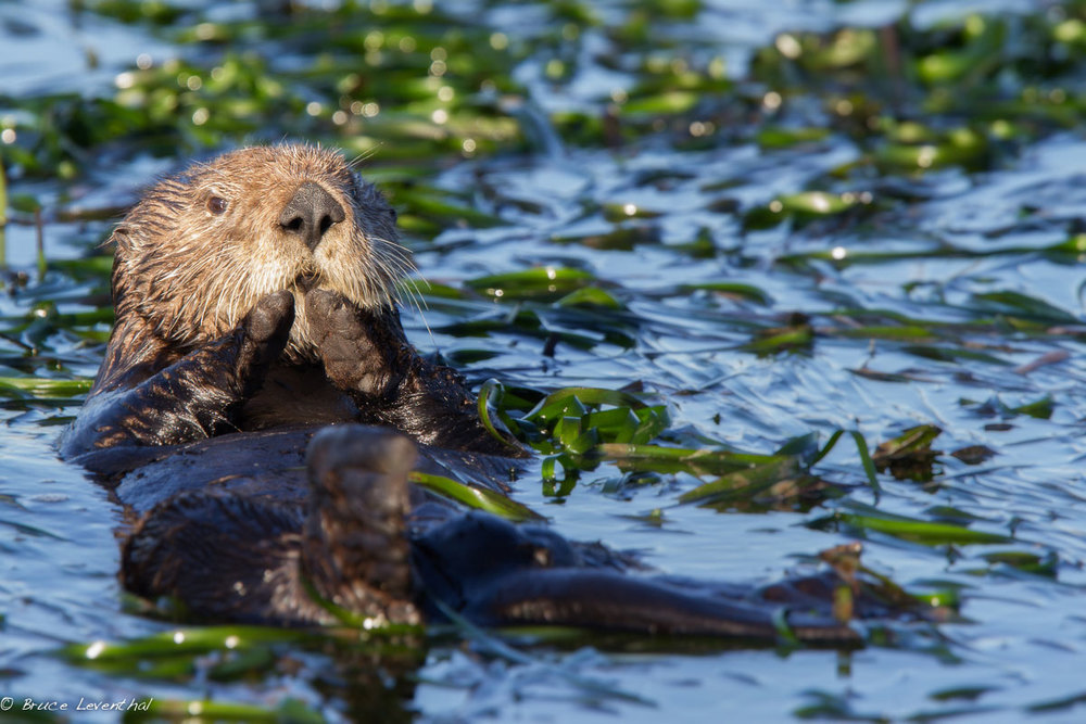 Sea Otter (Enhydra lutris) - Central Coast, CA