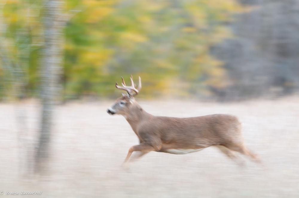 Running Buck 2 (Odocoileus virginianus) - MN    Nikon D300 + Nikkor 200-400 AFS VR