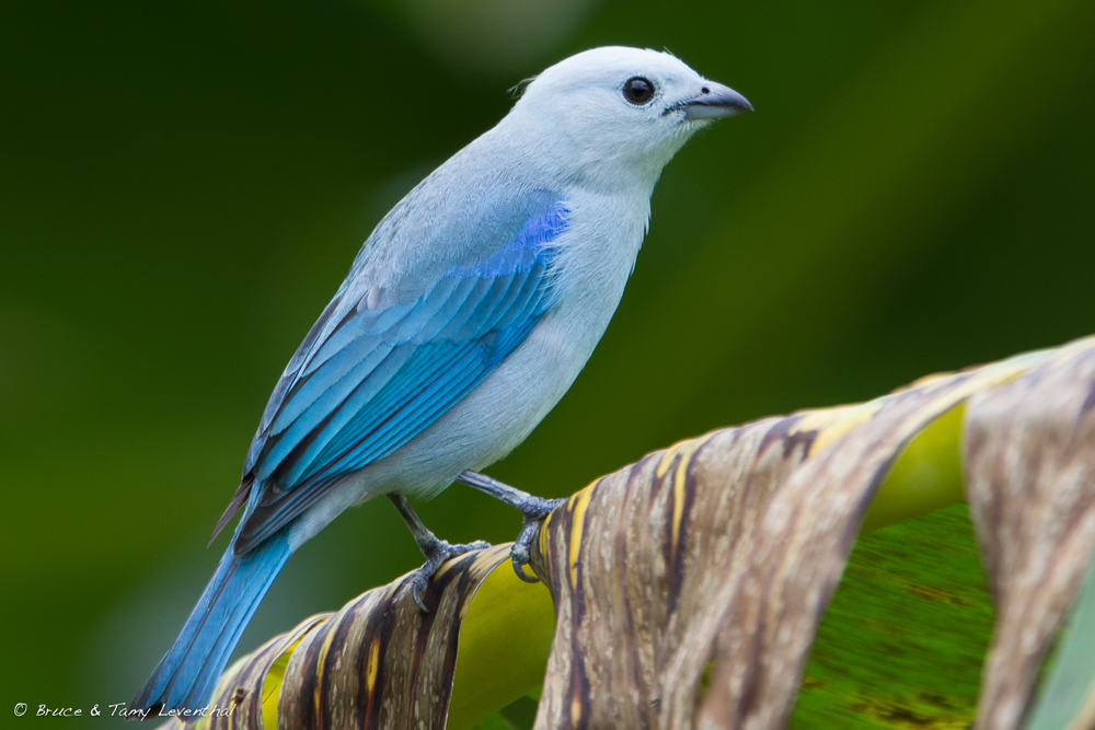 Blue-gray tanager  (Thraupis episcopus)  - Costa Rica  Canon 7D + Canon 300mm f2.8L IS w/ Canon 1.4x Converter