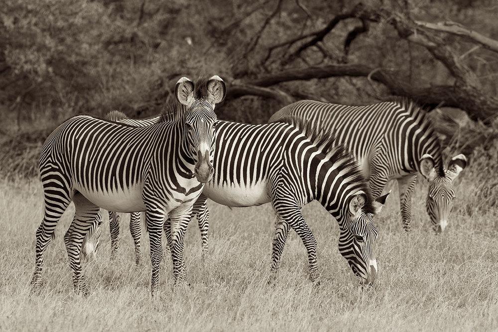 Grevy's Zebra(Equus grevyi)- Samburu National Reserve, Kenya Canon 7D + Canon 300mm f2.8L IS