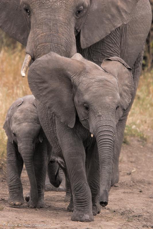 African Elephant Family (Loxodonta africana) - Lake Manyara, Tanzania  Canon 1D mark II + Canon 300mm f2.8L IS + Canon 1.4x converter
