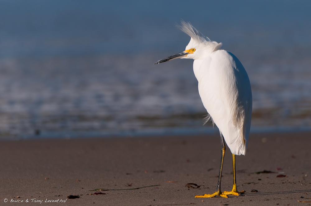 Snowy Egret  (Egretta thula)  in Coastal California  Nikon D300s + Nikon 200-400mm f4.0 VR1