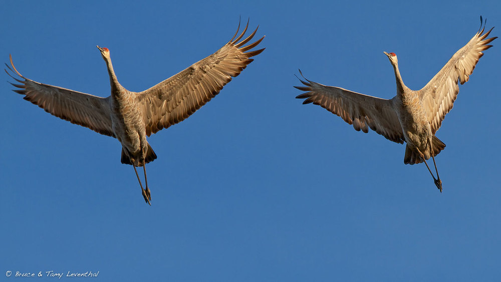The Crane Migration (Grus canadensis) - Crex Meadows WMA, WI Canon 1D Mark II + Canon 300mm f2.8L IS