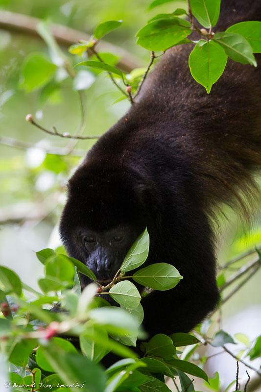 Mantled Howler Monkey(Alouatta palliata)- Selva Verde, Costa Rica Canon 7D + Canon 300mm f2.8L IS