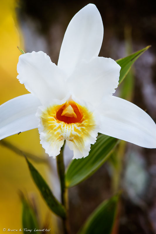 Sobralia orchid species - Finca la Anita, Costa Rica Canon 7D + Canon 300mm f2.8L IS