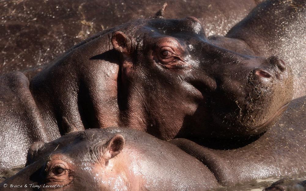 Hippopotamus amphibius- Serengeti, Tanzania Canon 30D + Sigma120-300mm f2.8 HSMEX